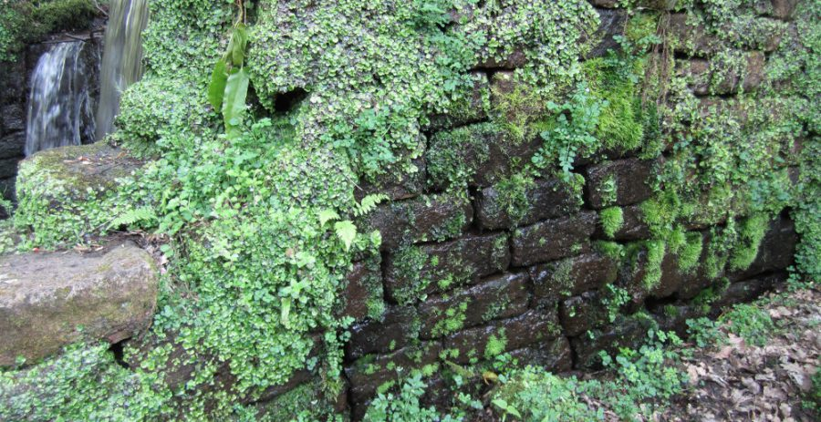 Wall with Great Scented Liverwort.