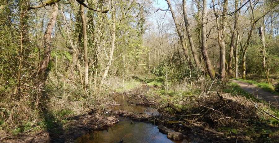 The small Upper Coppice mill dam is silted and overgrown, with a stream flowing through. Photo: Sue Shaw April 2015.